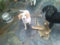 Cachorrita cruce beagle con sabueso